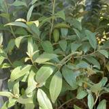Elaeagnus 'Quicksilver' - 2ltr pot