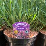 Lavender angustifolia 'Miss Katherine' - 3L