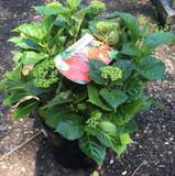 Hydrangea Macrophylla -Red