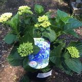 Hydrangea Macrophylla -Blue