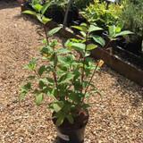 Hydrangea paniculata 'Wims Red' -3ltr pot