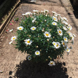 White Marguerite - Large