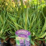 Lavender angustifolia 'Little Lady' - 3L