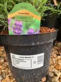 Lavender angustifolia 'Munstead' - 3L