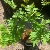 Osmunda regalis (Fern) 3ltr pot
