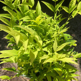 Nandina domestica 'Lemon & Lime' 2ltr (Heavenly Bamboo)