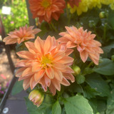 Dahlia Peach - small