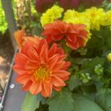 Dahlia Orange - small