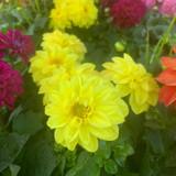 Dahlia Yellow - small