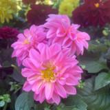 Dahlia Pink - small