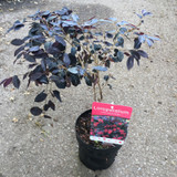 Loropetalum chinense 'Black Pearl'