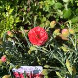 Dianthus Scent First Romance 1ltr