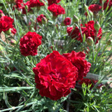 Dianthus Scent First 'Passion' 1ltr