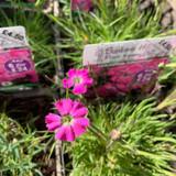 Dianthus Pavonius 1ltr