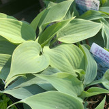 Hosta 'Fragrant Blue' 1ltr