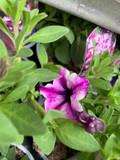 Petunia 'Rose Starburst' - 9cm pot