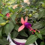 Fuchsia 'Bella Mix' Bush upright - 10.5cm pot