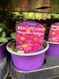 Brachycome 'Magenta Delight' - 9cm pot