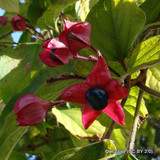 Clerodendron trich