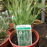 Lavender 'Edelweiss' (11cm)