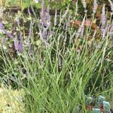 Lavender 'Grosso' (11cm)