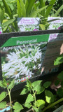 Agapanthus praecox 'Getty White' 1ltr pot