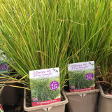Carex comans 'Pheonix Green' (Grass) 1ltr pot