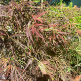 Acer palmatum 'Red Pygmy' - 25ltr