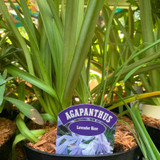 Agapanthus 'Navy Blue' - 3ltr pot