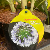 Agapanthus 'Queen Mum' - 3ltr pot