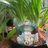 Agapanthus 'Snow Cloud' - 3ltr pot