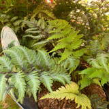 Athyrium nipponicum 'Red Beauty' (Fern) 3ltr