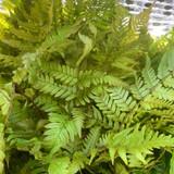 Dryopteris erythrosora (Fern)- 3ltr pot