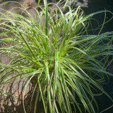 Carex 'Feather Falls' (Grass) 3lt