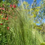 Stipa tenuissma 'Pony Tails' (Grass) 3ltr