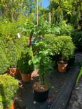 Hydrangea petiolaris 10ltr
