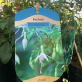 Hardy Fuchsia - 'Hawkshead' 3ltr