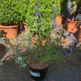 Salvia 'Blue Note' - 3ltr pot