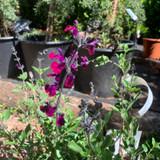 Salvia 'Violette de Loire' - 3ltr pot