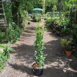 Trachelospermum jasminoides (Star Jasmine)-10ltr