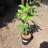 Hydrangea seemanii - (Climbing Hydrangea)3ltr pot