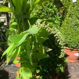Itea virginica 'Henry's Garnet' - 4ltr pot