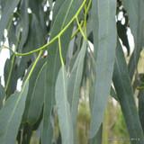 Eucalyptus mitchelliana 6.5ltr