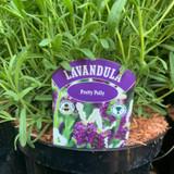 Lavender stoechas 'Pretty Polly' - 3L