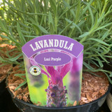 Lavender stoechas 'Lusi Purple' - 3L