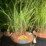 Schizachyrium 'Standing Ovation'   3ltr