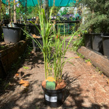 Miscanthus 'Strictus' - (Grass) 3ltr