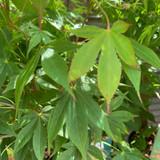 Acer palm. 'Osakazuki'