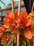 Bougainvillea Piramade 'Ton sur Ton' - Orange