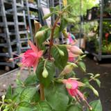 Fuchsia 'Jubelteen'